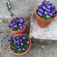 drie bloempotten met blauwe viootjes